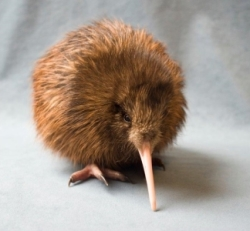 Hupai 1 week old kiwi